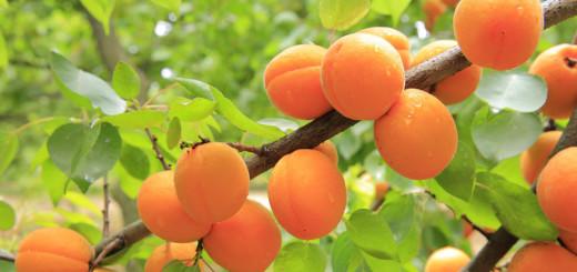 масло-абрикоса-из-косточек