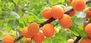abrikosovoe-maslo-dlya-lica
