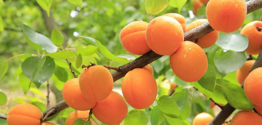 Масло абрикоса для жирной кожи thumbnail